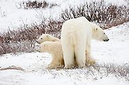 01874-109.09 Polar Bears (Ursus maritimus) female & 2 cubs near Hudson Bay, Churchill  MB, Canada
