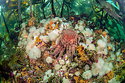 A sunflower star, Pycnopodia helianthoides, crawls over short plumose anemones, Metridium senile, in the kelp forest in Browning Passage, Vancouver Island, British Columbia, Canada