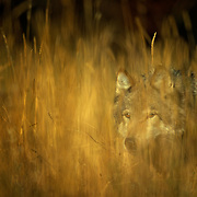 A lone gray wolf stalks through the grass on a Montana ranch near Bozeman.