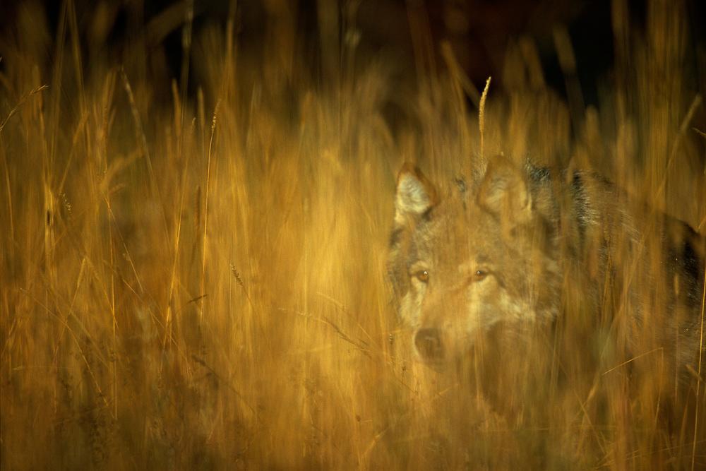 A lone gray wolf stalks through the grass on a Montana ranch near Bozeman.
