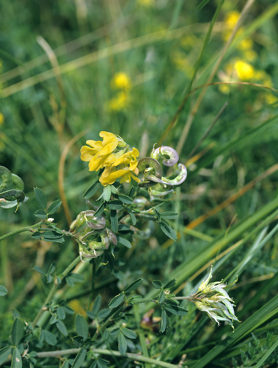 SICKLE MEDICK Medicago sativa ssp. falcata (Height to 70cm) is native form of cultivated Lucerne from which it differs in its yellow flowers and its sickle-shaped (not spiral) pods. It grows in grassy places in the Brecks, and is sometimes found on roadside verges.