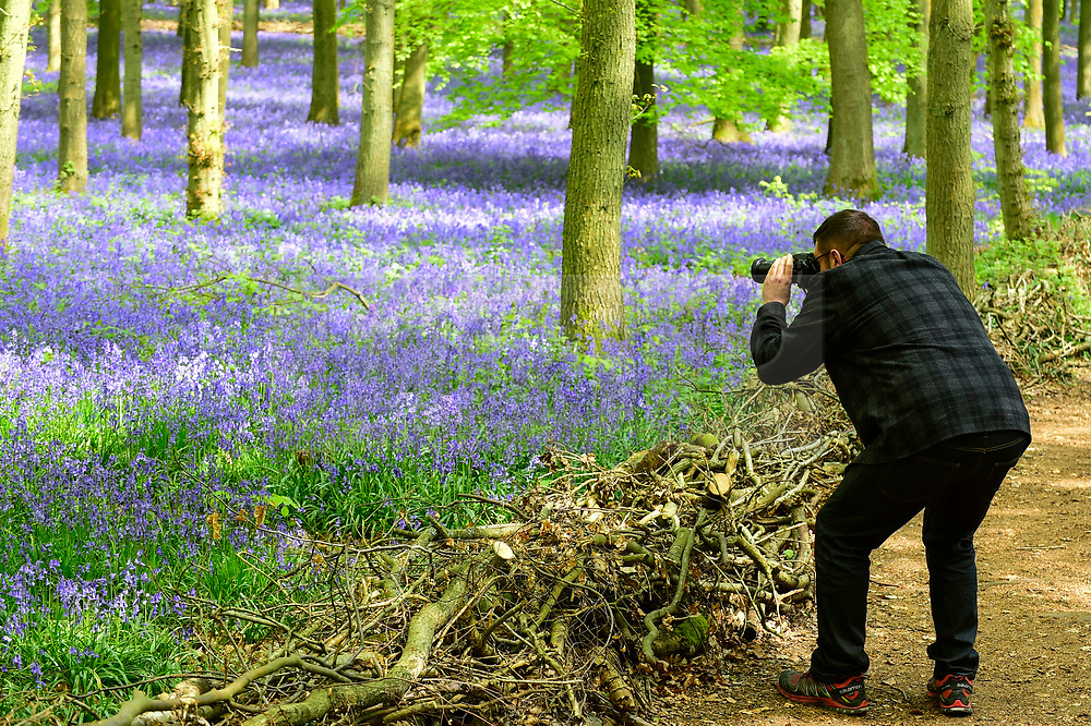 © Licensed to London News Pictures. 30/04/2019. ASHRIDGE, UK. A visitor photographs the bluebells bloom in Dockey Wood, Hertfordshire.  As the popular location experiences high numbers of visitors, the National Trust has imposed an entrance fee in recent years during busy periods with barricades of twigs and branches to demarcate pathways to protect the delicate flowers from being trampled.  Photo credit: Stephen Chung/LNP