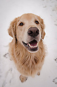 Dog (golden retriever) in the snow