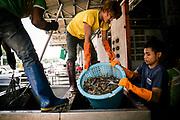 A Burmese migrant working illegally in a fish processing factory helps to unload the previous night's catch.         Un migrant birman travaillant illégalement dans une usine de transformation du poisson aide à décharger les prises de la nuit précédente.