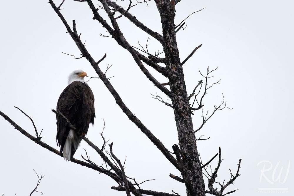 Bald Eagle, Yellowstone National Park, Wyoming