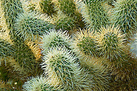 Cholla cactus (Opuntia cholla) in the Anza-Borrego desert, California