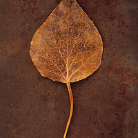 Close up of brown autumn leaf of Ivy or Hedera helix plant lying on rusty metal sheet