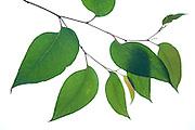 Messmate, Eucalyptus obliqua