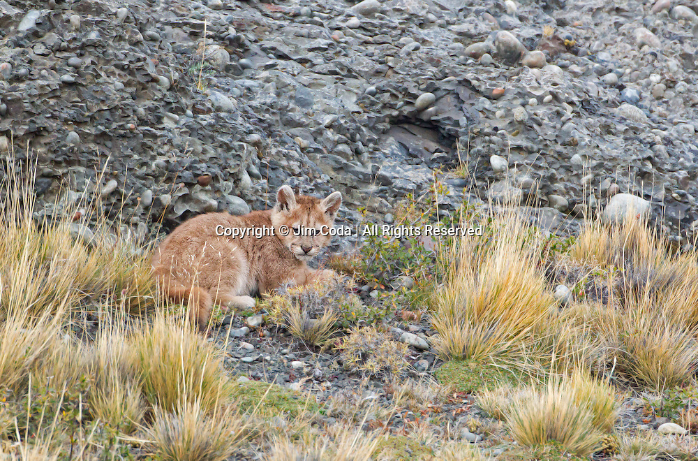 A small puma kitten lies down in Torres del Paine National Park.