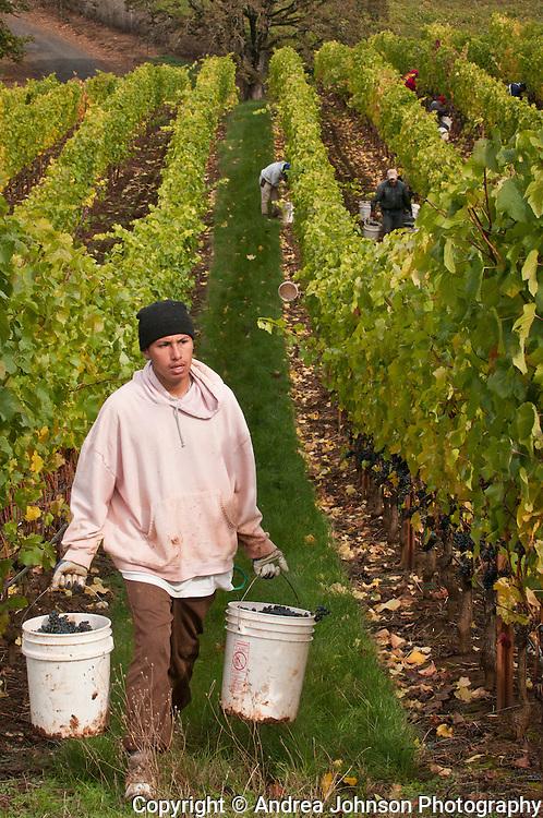 Harvest at Alexana Vineyards, Dundee Hills, Willamette Valley, Oregon