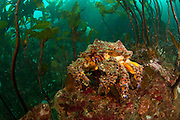 A  Puget Sound King Crab, Lopholithodes mandtii, rests among the kelp in Browning Passage, Vancouver Island, British Columbia, Canada