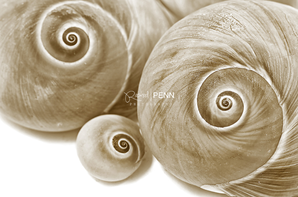 Photograph of Shells in a sepia tone on a white background.