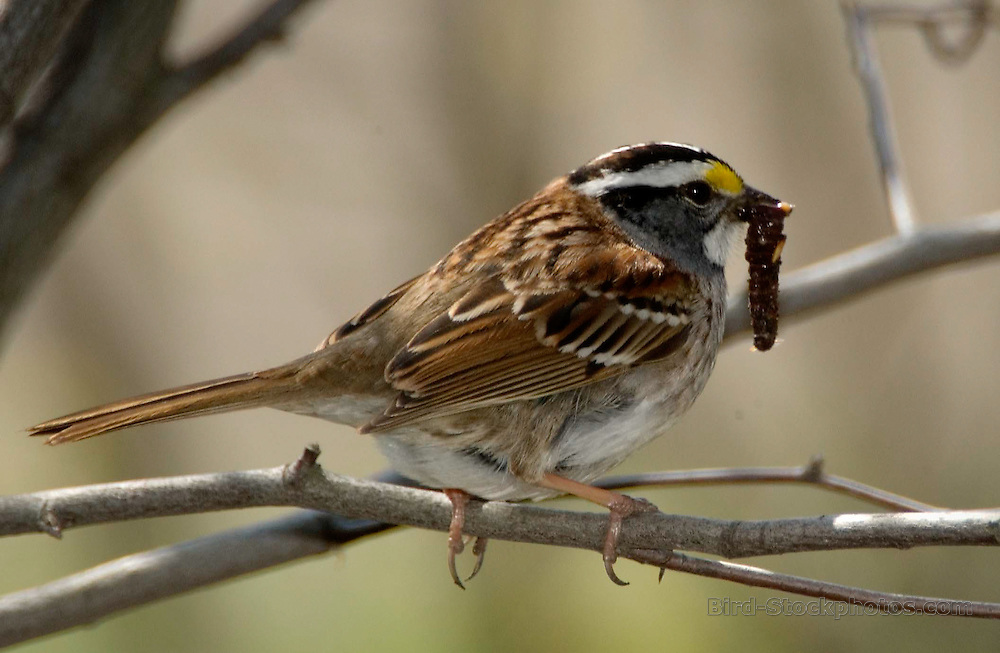 White-throated Sparrow, Zonotrichia albicollis, on branch, with worm, USA Midwest, by Owen Deutsch