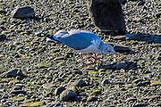 Herring Gull - Larus argentatus Herring Gull - Larus argentatus feeding on a quohog sequence taken at Colt State Park, Bristol, RI