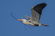 Gray Heron flying with a branch in it's beak, buissy with building nest | Gråhegre flyr med en gren i nebbet, opptatt med å bygge reir.
