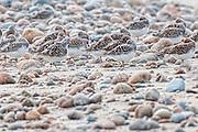 Flock of Sanderling - Calidris alba sleeping on the beach
