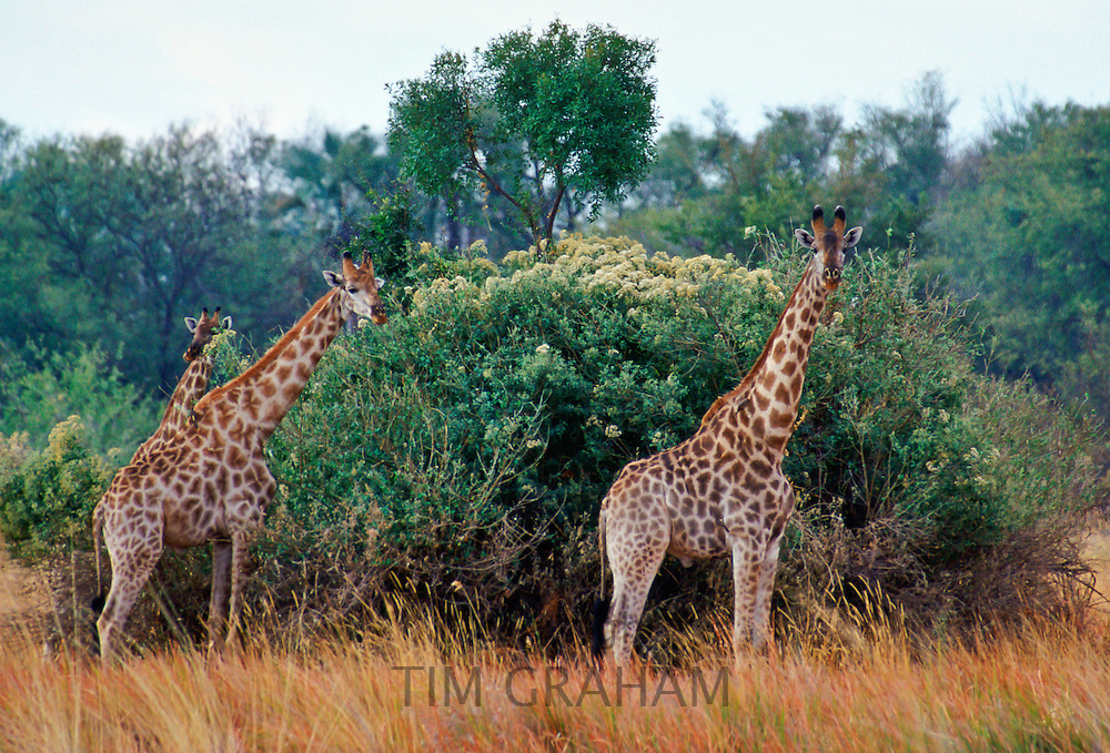 Herd of three giraffes  in Moremi National Park, Botswana