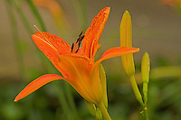 A close-up of a flowering orange color Day Lily ( Hemerocallis fulva ) ,with a green background.