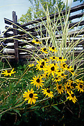 THIS PHOTO IS AVAILABLE FOR WEB DOWNLOAD ONLY. PLEASE CONTACT US FOR A LARGER PHOTO. Idaho. Black Eyed Susans bloom near a pole fence.