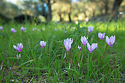 Greek Cyclamen, Cyclamen graecum, perennial wildflower grows through grass on woodland floor, Corfu, , Greece