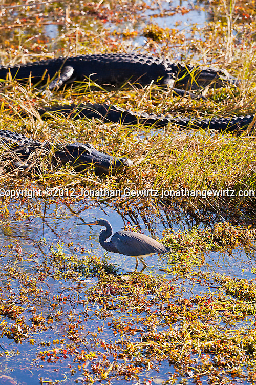 A Tricolored Heron (Egretta tricolor) walks in front of basking American Alligators (Alligator mississippiensis) in the marshy part of a slough near the Anhinga Trail in Everglades National Park, Florida. WATERMARKS WILL NOT APPEAR ON PRINTS OR LICENSED IMAGES.