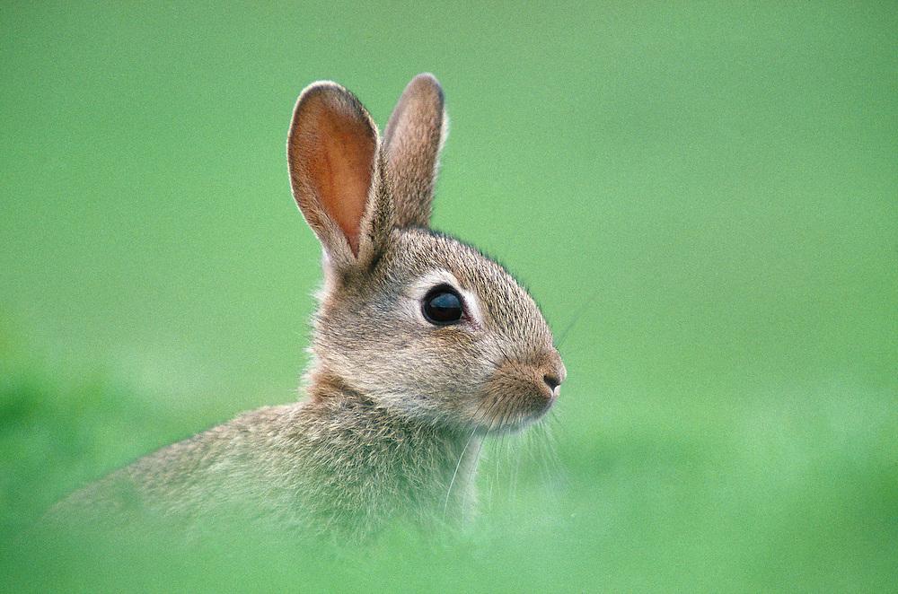 Young rabbit outside burrow
