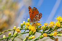 Chlosyne acastus neumoegeni (Sagebrush Checkerspot) at Bob's Gap, Los Angeles Co, CA, USA, on California broomsage 03-Oct-15