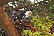 A bald eagle chick (Haliaeetus leucocephalus) that is about one month old approaches its parent on their nest in Heritage Park, Kirkland, Washington.