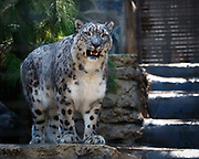 Snow Leopard at the San Diego Zoo. This endangered cat is rarely seen and inhabits the high mountain ranges in Central Asia.