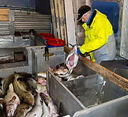 Today's catch of cod is slaughtered on board. From Lofoten, Norway, February 2013.