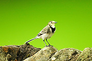 A Pied Wagtail sitting on a dry stone dyke. Latin name Motacilla Alba