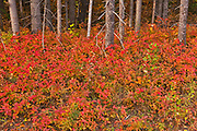 Autumn colors in the underbrush of  the boreal forest. This is a provincial parc, not a true federal park.<br />Parc national de la Gaspésie<br />Quebec<br />Canada