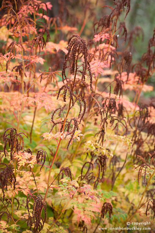 Seedheads and autumn colours of Aruncus 'Horatio'. Goat's beard