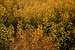 CANADA ALBERTA EDMONTON 24JUL09 - Mustard plants on farming land north of Fort Saskatchewan near Edmonton, Alberta, Canada...jre/Photo by Jiri Rezac / GREENPEACE..© Jiri Rezac 2009