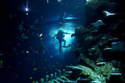 Divers feed fish in the refurbished tanks at London Aquarium5