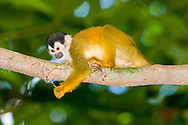 Black-crowned Central American Squirrel Monkey (Saimiri oerstedii oerstedii)<br /> COSTA RICA: <br /> Osa Peninsula; Corcovado National Park; Sirena Biological Station<br /> 21.June-13-July.2006<br /> J.C. Abbott #2289
