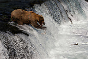 "Bear #775, known as ""Lefty,"" misses a salmon at Brooks Falls in Katmai National Park, Alaska"