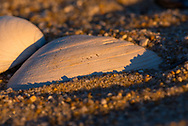 Seashell on the beach Surrounded by sand pebbles in late afternoon