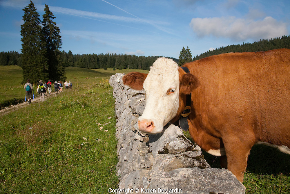 A cow looks over a stone wall as a group of hikers pass by in the Jura mountain region of Switzerland. http://www.gettyimages.com/detail/photo/cow-and-hikers-in-the-jura-switzerland-royalty-free-image/98491223