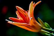 Blooming Orange Amaryllis with a dark background