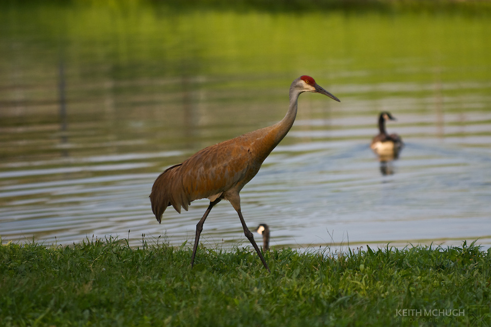Male Sandhill Crane walking the shore