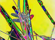 Brilliant Dragonfly