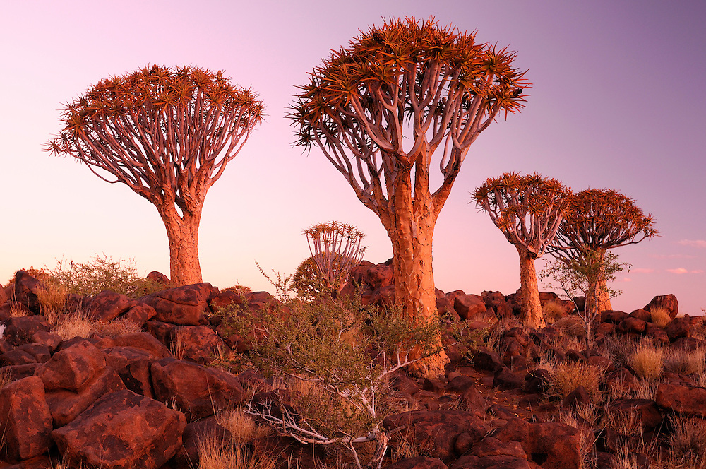 Dask, Kocherbaum, Quiver Tree, Quiver Tree Restcamp, Keetmanshoop, Karas Region, Namibia.