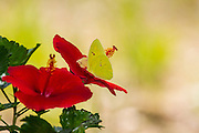 Cloudless sulphur, Phoebis sennae, feeding on hibiscus, southern, Arizona, summer, garden.
