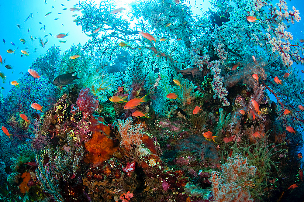 Sunk by the Japanese during World War 2, the Liberty rests near the shoreline of Tulamben, Bali, Indonesia, and is a major draw for divers and marine life. In some sections it is so encrusted by corals that it hardly resembles a man-made structure.