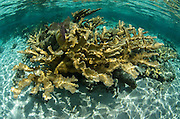 Elkhorn Coral (Acropora palmata)<br /> Hol Chan Marine Reserve<br /> near Ambergris Caye and Caye Caulker<br /> Belize<br /> Central America