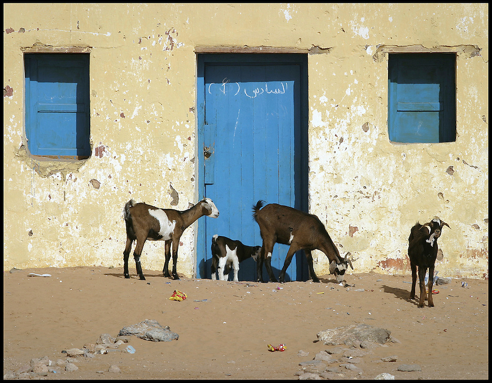 Goats in the street at wilaya of Smara, Friday Dec. 30, 2005.