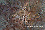 63877-01508 Aerial view of lone Sycamore tree in winter woods Marion Co. IL