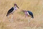 Marabou storks (Leptoptilos crumeniferus) from Maasai Mara, Kenya.