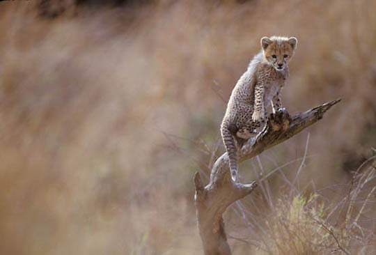 Cheetah, (Acinonyx jubatus) Portrait of cub on tree. Masai Mara Game Reserve. Kenya. Africa.